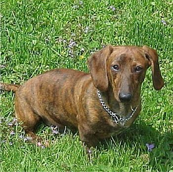 Brindle Dachshund, this is what my peanut looks like