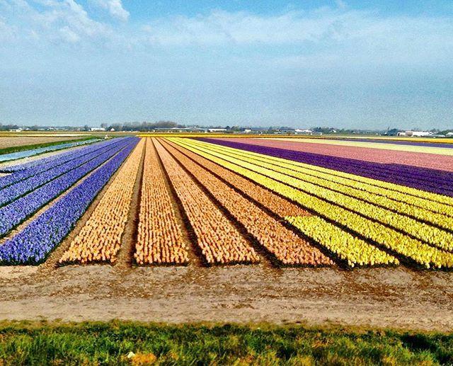 Tulips' fields / Тюльпановые поля  #holland  #nederland #thenetherlands #gracht #amsterdam #amsterdamcity #grachtenfahrt #grachten