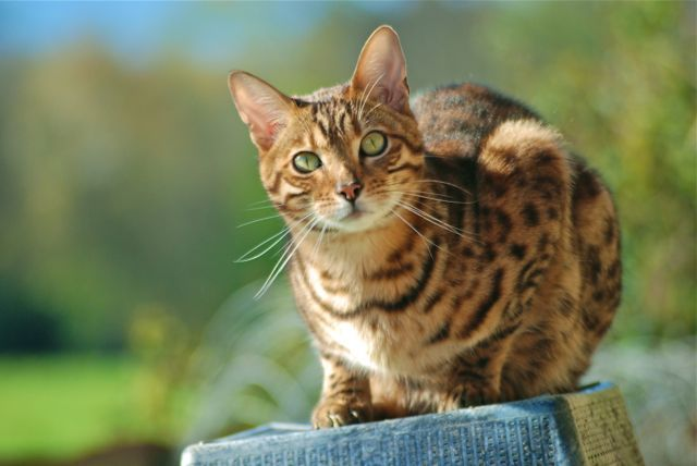 38 Best Images About Bengal Cat On Pinterest Cats