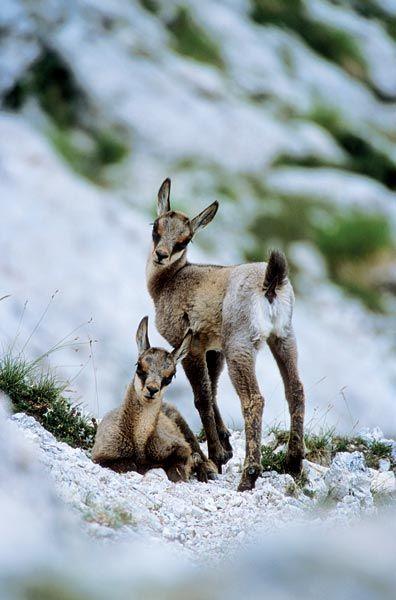 Camoscio Appenninico, Rupicapra pyrenaica ornata #bovide #sibillini #cucciolo #ripopolamento #magnifico #animale