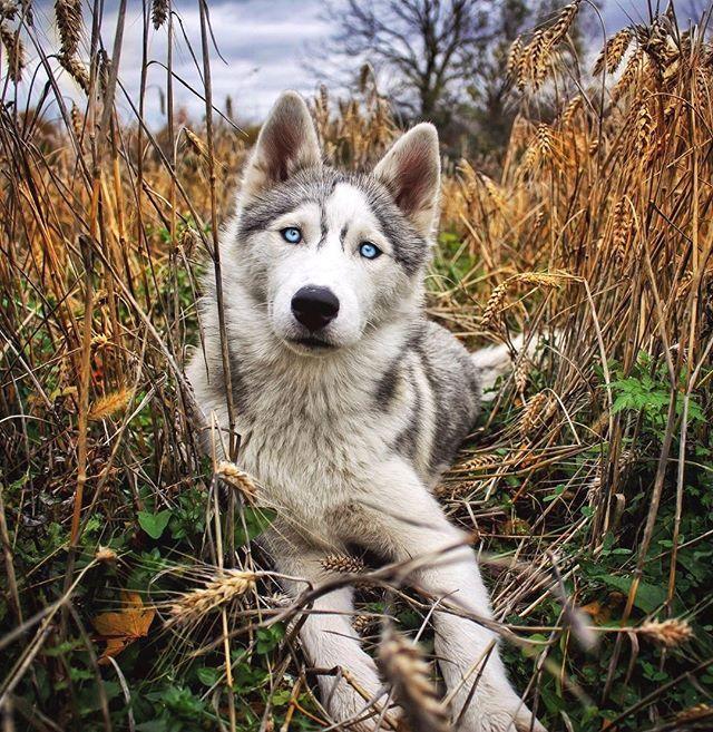 Unisexe T-shirt Siberian husky-pas le méchant loup chien chiens siviwonder