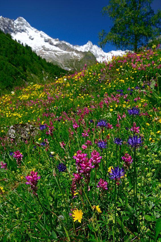 Wildflowers Val Ferret Valais