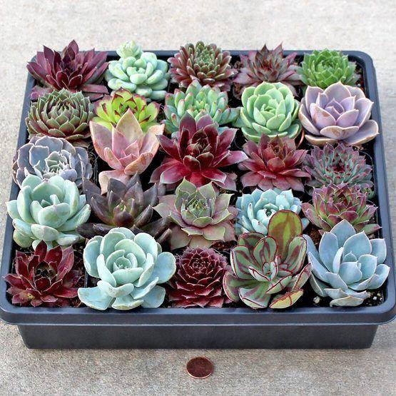 Large variety of succulent plants available: Sempervivum, Sedum, Soft & Hardy Succulents, Echeveria, and affordable Wholesale Succulent Plug Trays.