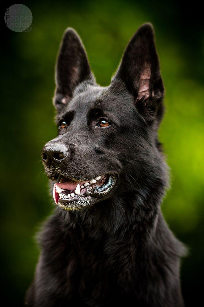 full black german shepherd - 667×1000