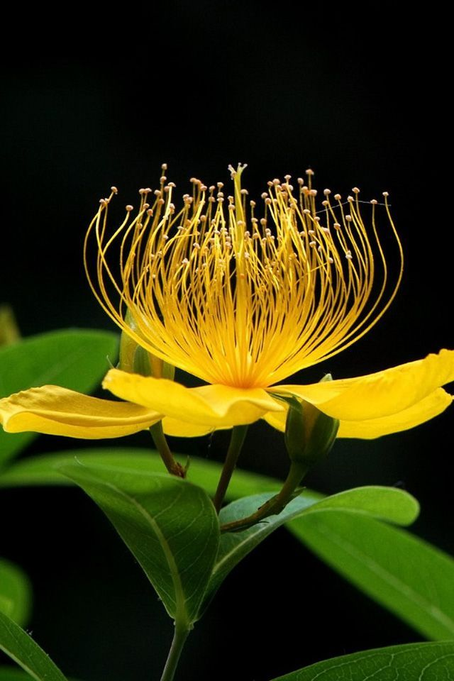 St John's wort (Hypericum) 5 Yellow petals - perennial herb. Extensive, trailing rhizomes. Erect Stems. Yellow/green leaves. Hypericum comes from the Greek words 'Hyper' meaning above and 'eikon' meaning picture. It is said to help ease depression and ward of evil spirits.: