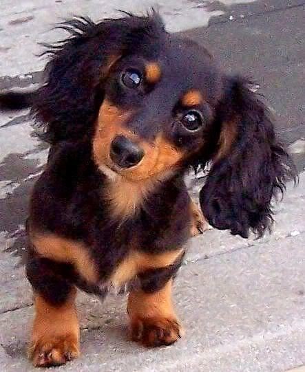 Dachshund Hypoallergenic   Pets and Dogs