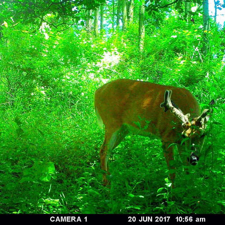 "Check out this new deer we caught on camera! I'm calling him ""Cyborg"" he runs in a very impressive bachelor group! Pumped for this spot this year. #hunt #hunter #hunting #trailcam #trailcamera #trailcamtuesday #deer #deersign #deerhunting #whitetail #whitetaildeer #bowhunting #bucks #bigbuck #bigdeer #bigbucks #upstateny #newyork #outdoors #moultrie @the_trailcamologist_ @theqdma @drakenontypical http://misstagram.com/ipost/1550867893414034857/?code=BWFyiHYgH2p"