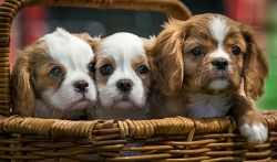 TWA-0065659 © WestPix These King Charles Spaniel pups are looking for a new home. Shenton Park Dogs' Refuge Home have been inundated with puppies. Pic Mogens Johansen, The West Australian
