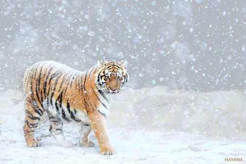 Winter Prowl.- For Lil Sis! xo