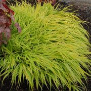 One of my favorite shade landscape plants, All Gold Hakone Grass