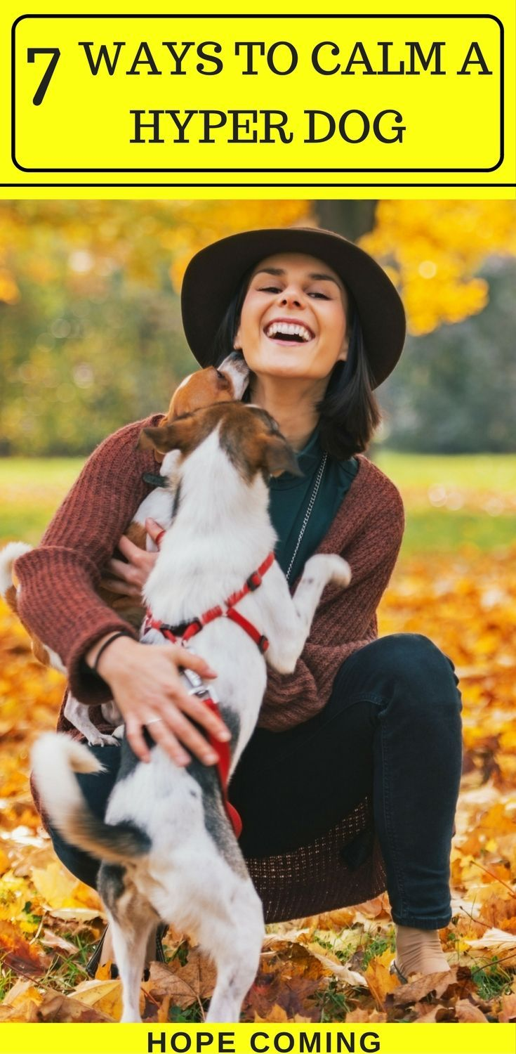 How to calm a Hyper Dog | Interesting fact: Over excited Dogs are capable of learning much more | Puppy training basics | puppy training tips | via @KaufmannsPuppy