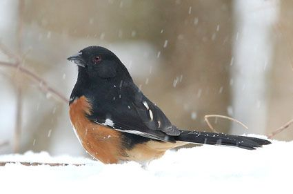 Eastern Towhee, Pipilo erythrophthalmus: Birds Brain, Ar Photos, Backyards Birds, Birds Gallery, Pet Birds, Beautiful Birds, Eastern Towhee, Feathers Friends, Jeans Kun
