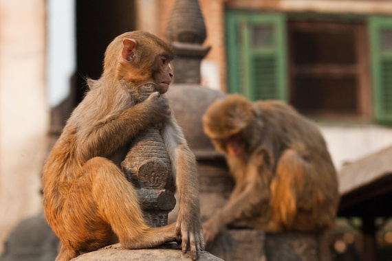 """""""the stupa truly becomes a monkey temple at night when hundreds of monkeys frolic"""""""