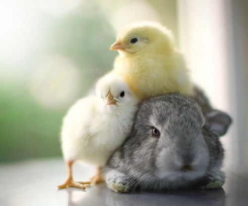 : Baby Chick, Sweet, Animal Photography, Cuddling, New Life, Easter Bunnies, Spring, Happy Easter, Furry Friends