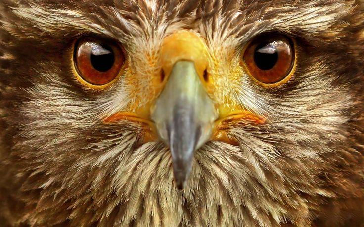 Скачать обои на рабочий стол 1920х1200, Орел, глаза, птица