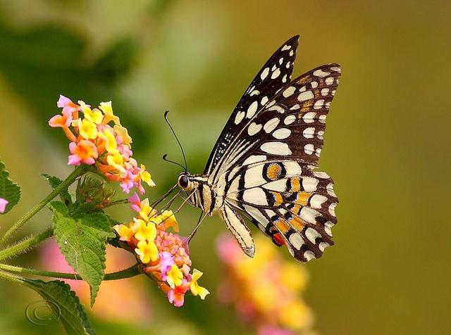 Butterfly Facts For Kids | Butterfly Habitat & Diet