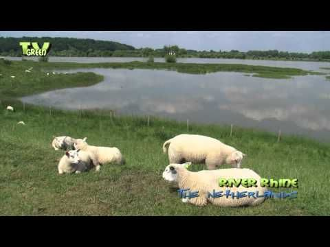 Wild Peers: Sheep and Lambs in flooded area - YouTube