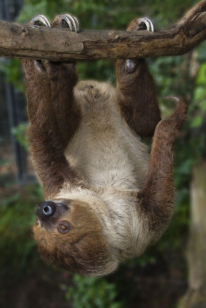 Sloths' claws curve around branches like safety hooks, allowing them to safely hang (and sleep) upside-down.