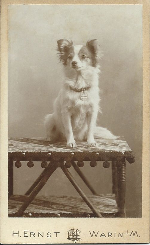 c.1890 cdv of adorable white spitz with brown ears and markings on his sweet face. He sits quietly on a rustic table, waiting for his portrait to be taken. Photo by H. Ernst of Warin i. M. From bendale collection