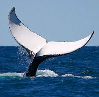 Whale Watching Narooma - see a variety of whales in the waters aroound Narooma and Montague Island sep- nov peak season sometimes june/july