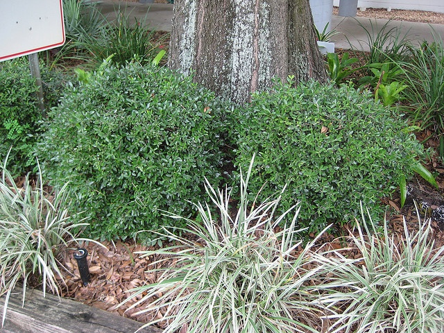 Dwarf yaupon holly is a small evergreen shrub it can grow for Trees that stay small