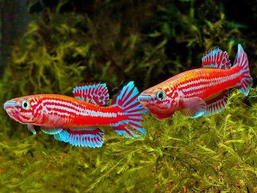 Aphyosemion Ogoense Ghp 80 24 Aquarium Aphyosemion And