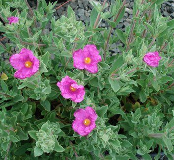 Cistus x pulverulentus 'Sunset' - another alternative for rockrose.  (Check Thicket to see which specimens are right size for container.)