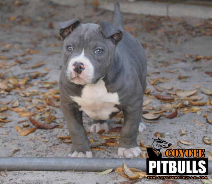 Coyote's Calypso Pictures of pitbull puppies, Pitbull