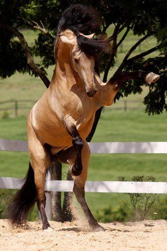 Rearing buckskin stallion