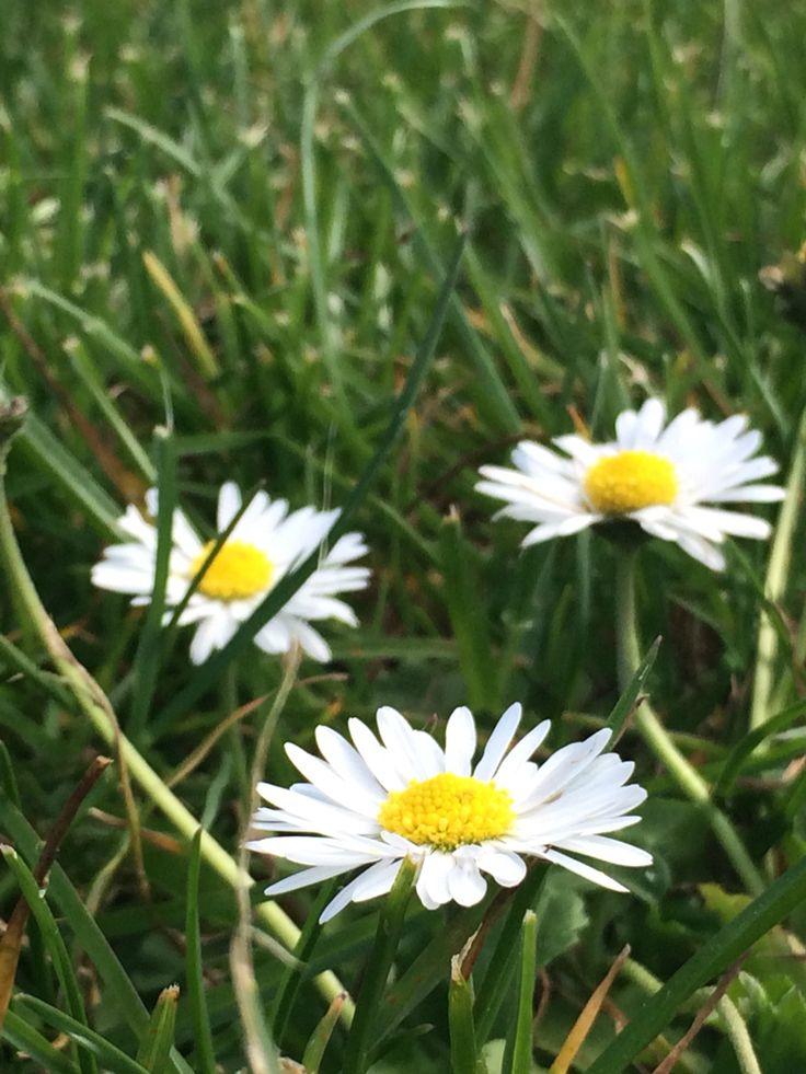 #daisy #flower