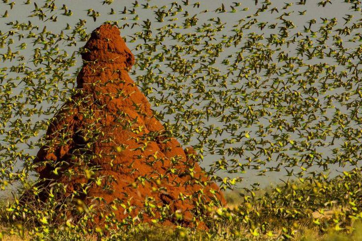 Budgerigars, Onslow Western Australia