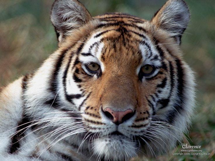 tigers | ... Wallpaper - White Tiger - Bengal and Siberian Tigers - Desktop Themes