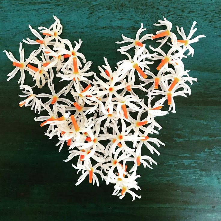 Pin by Rahi on parijat flower Flowers, Fragrance, Garden
