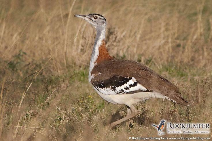 Stanley's Bustard by Hugh Chittenden - South African Birding Tours