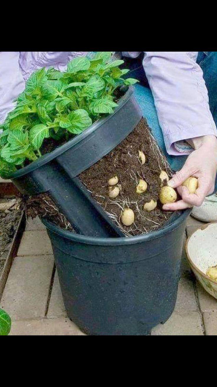 Plant potatoes with double pot