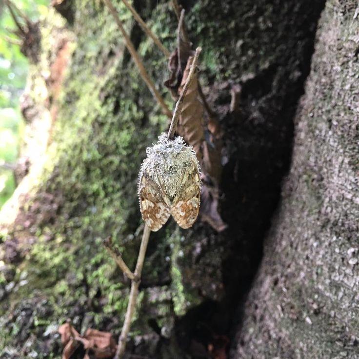 冬虫夏草 (Ophiocordyceps sinensis)