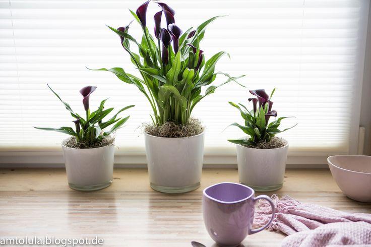 1000 images about calla on pinterest zantedeschia. Black Bedroom Furniture Sets. Home Design Ideas