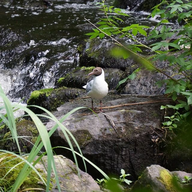 Naurulokki hengähtää kivellä kosken vieressä. Kuvattu Urpolan luonnonpuistossa Mikkelissä.