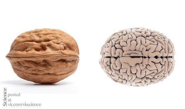 Наверное, каждый замечал внешнее сходство грецкого ореха и мозга, самого важного нашего органа. Более того, можно однозначно сказать, что орехи исключительно благотворно влияют на мозг, насыщая его витаминами полезными жирными кислотами.