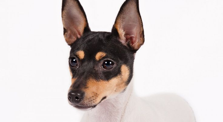Toy Fox Terrier:Toy Fox Terriers are outgoing and friendly, yet fiercely loyal to their families.