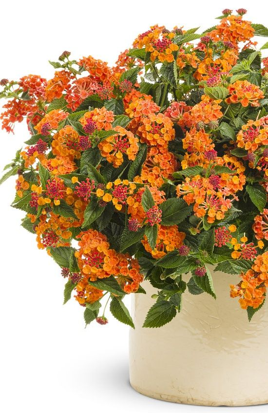 Luscious Marmalade Lantana is a tough-as-nails selection--drought tolerant, heat loving...and gorgeous too!