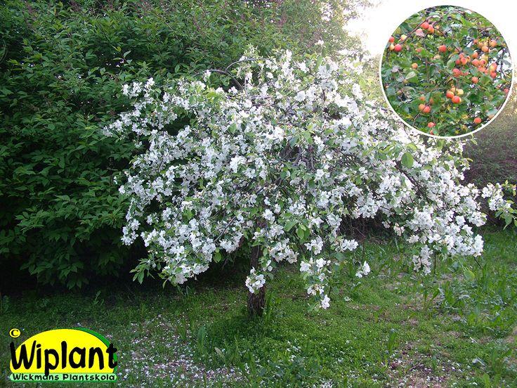Malus Hyvingiensis. Hängande prydnadsäppel, vita blommor, fina frukter. 49,90 €…