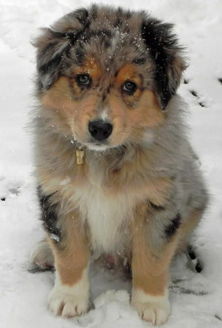 Want one!! Australian Shepherd