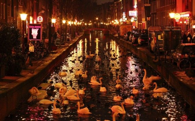 Swans swim happily in the Red Light District, Amsterdam, The Netherlands | 1,000,000 Places