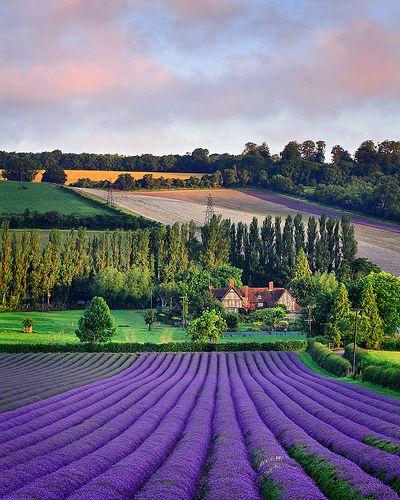 Summer Harvest Castle Lavender Fields Kent Englandengland Dreams Purple Lavender Fields