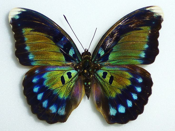 Bebearia Butterfly (Octogramma Female Nymphaliidae Species, South Cameroon Butterflies Insect Collection, Entomology)