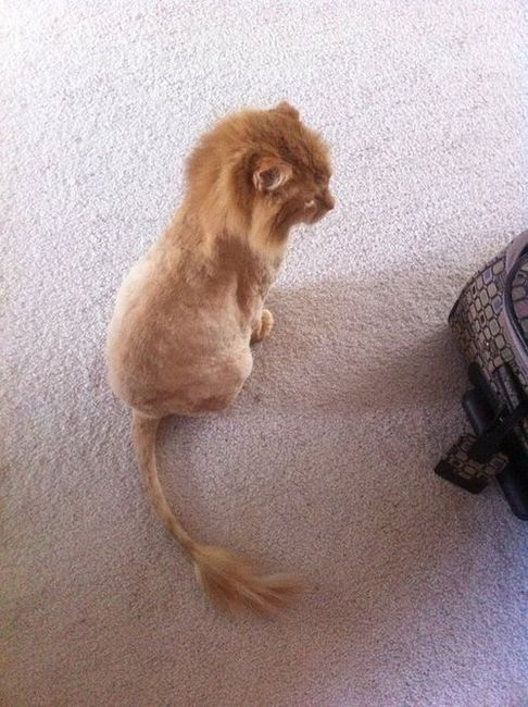 :DHaircuts, Orange Cat, Lion Cat, Hair Cut, Lion King, Kittens, Baby Lion, Kitty, Animal