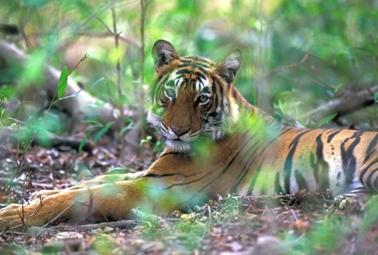 11 Ferocious Facts About Tigers.
