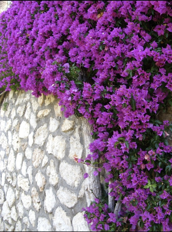Beautiful bougainvillea hanging everywhere in Capri, Italy. (Sugokuii Wedding Planners Capri)