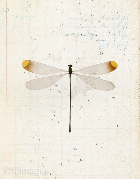 dragonfly illustration                                                                                                                                                                                 More